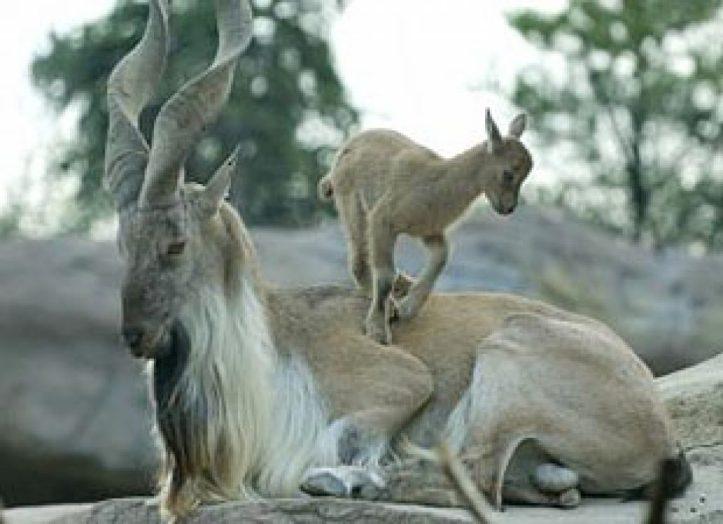 Markhor-Goat-Species-Makes-Comeback-In-Pakistanj-2sdpf8o7u9d8lby3t6rif4