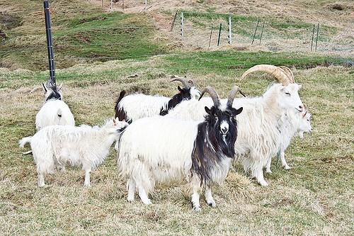 Icelandic goats
