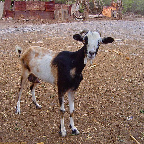Cape Verdean Goat1