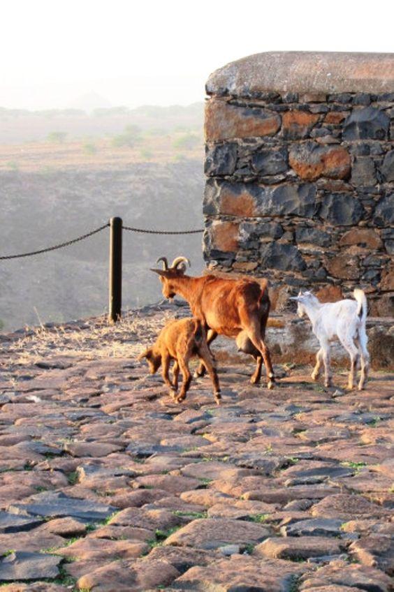 Cape Verdean Goat2