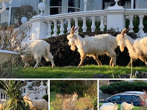 Great Orme Goats